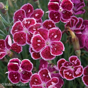 Fire And Ice Cheddar Pinks(Dianthus )