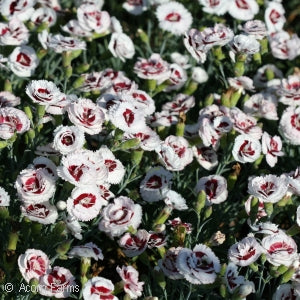 Scent First&#8482 Coconut Surprise Border Pinks(Dianthus )