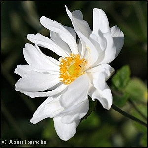 Japanese Windflower(Anemone X)
