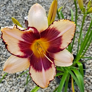 Canadian Border Patrol Rebloom Daylily(Hemerocallis )