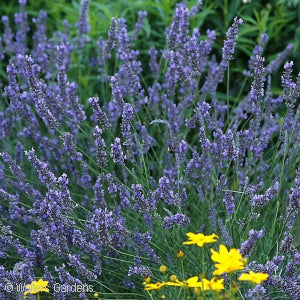 Fat Bud French Lavender(Lavandula Intermedia)