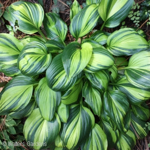 Rainbows End Hosta(Hosta )