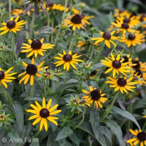 Little Goldstar Dwarf Blackeyed Susan(Rudbeckia )