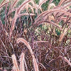 Annual Purple Fountain Grass(Pennisetum Setaceum)