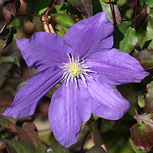 H F Young Clematis(Clematis )