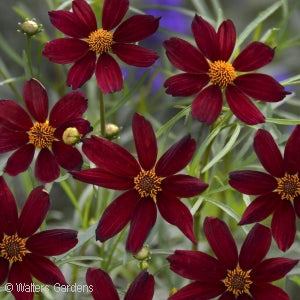 Permathread&#8482 Red Satin Tickseed(Coreopsis )
