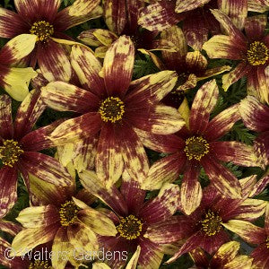 Cruizin'&#8482 Route 66 Threadleaf Tickseed(Coreopsis Verticillata)