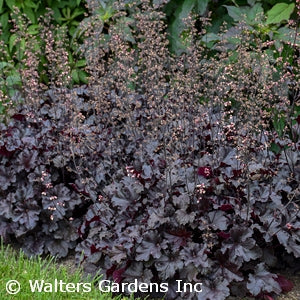 Black Pearl Coral Bells(Heuchera )
