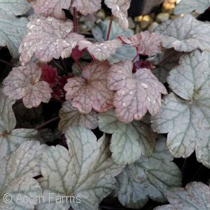 Stainless Steel Coral Bells(Heuchera )