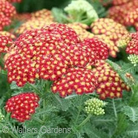 Strawberry Seduction Yarrow(Achillea Millefolium)