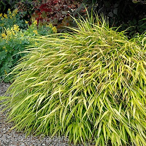 All Gold Japanese Forest Grass(Hakonechloa Macra)