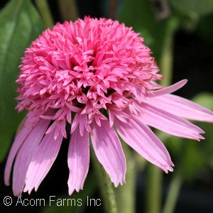 Double Delight Coneflower(Echinacea )
