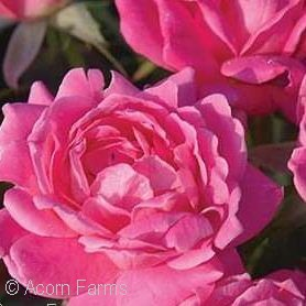 Knock Out® Pink Double Shrub Rose(Rosa )