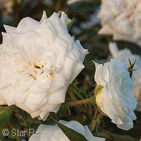 Drift® White Groundcover Rose(Rosa )