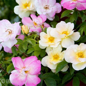 Peach Lemonade&#8482 Yellow Shrub Rose(Rosa )