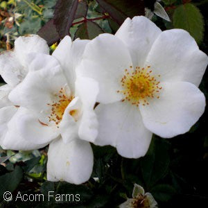 Knock Out® White Shrub Rose(Rosa )