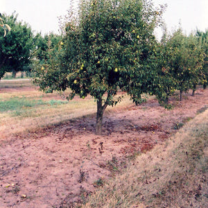 Bartlett Pear (Pyrus communis 'Bartlett')