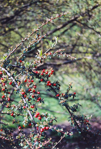 Coral Beauty Cotoneaster (Cotoneaster dammeri 'Coral Beauty')
