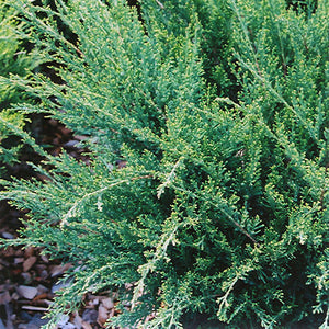 Sea Green Juniper (Juniperus chinensis 'Sea Green')