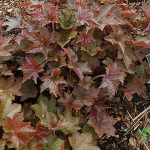 Palace Purple Coral Bells (Heuchera micrantha 'Palace Purple')