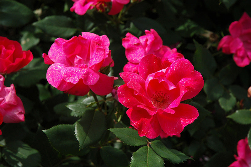 Knock Out® Rose (Rosa 'Radrazz')