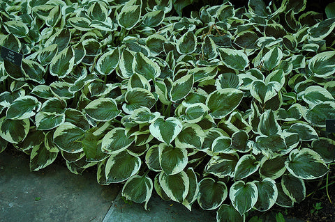 Patriot Hosta (Hosta 'Patriot')