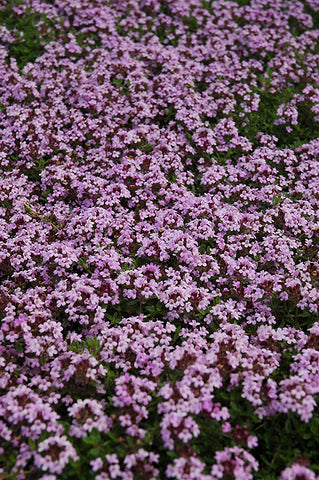 Red Creeping Thyme (Thymus praecox 'Coccineus')