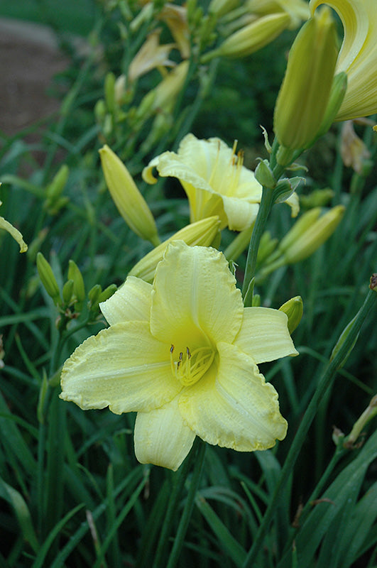 Happy Ever Appster® Happy Returns Daylily (Hemerocallis 'Happy Returns')