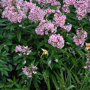 Bright Eyes Garden Phlox (Phlox paniculata 'Bright Eyes')