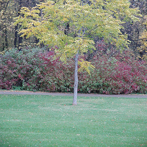 Kentucky Coffeetree (Gymnocladus dioicus)