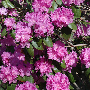 P.J.M. Rhododendron (Rhododendron 'P.J.M.')