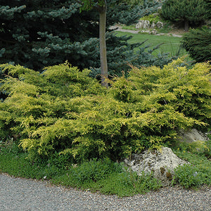 Old Gold Juniper (Juniperus x media 'Old Gold')