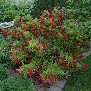 Red Prince Weigela (Weigela florida 'Red Prince')