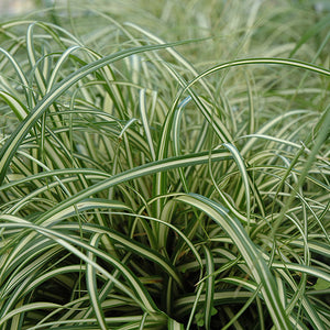 Evergold Variegated Japanese Sedge (Carex oshimensis 'Evergold')
