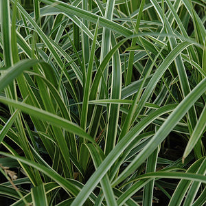 Ice Dance Sedge (Carex morrowii 'Ice Dance')