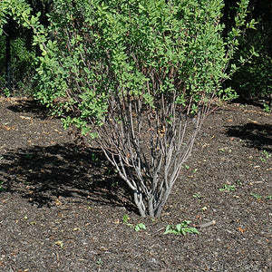 Rainbow Pillar Serviceberry (Amelanchier canadensis 'Glennform')