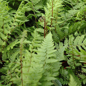 Lady in Red Fern (Athyrium filix-femina 'Lady in Red')