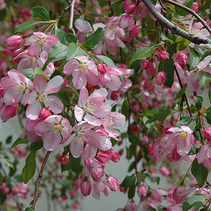 Louisa Flowering Crab (Malus 'Louisa')