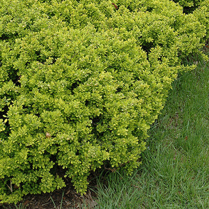 Bonanza Gold Japanese Barberry (Berberis thunbergii 'Bonanza Gold')