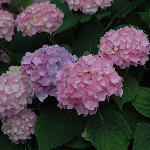 Endless Summer® Hydrangea (Hydrangea macrophylla 'Endless Summer')