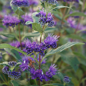 Dark Knight Caryopteris (Caryopteris x clandonensis 'Dark Knight')