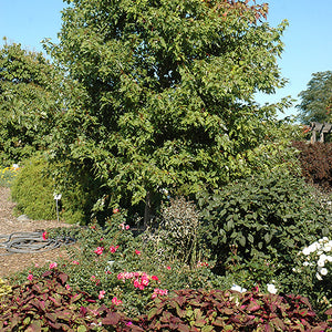 Sienna Glen Maple (Acer x freemanii 'Sienna')