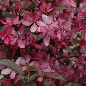Royal Raindrops Flowering Crab (Malus 'Royal Raindrops')