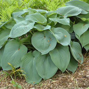 Big Daddy Hosta (Hosta 'Big Daddy')