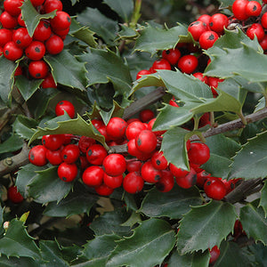 Berri-Magic Meserve Holly (Ilex x meserveae 'Berri-Magic')