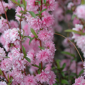 Double Pink Flowering Almond (Prunus glandulosa 'Rosea Plena')