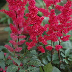 Fanal Astilbe (Astilbe x arendsii 'Fanal')