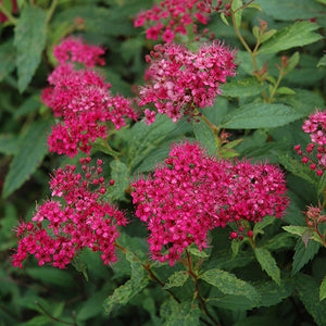 Neon Flash Spirea (Spiraea japonica 'Neon Flash')