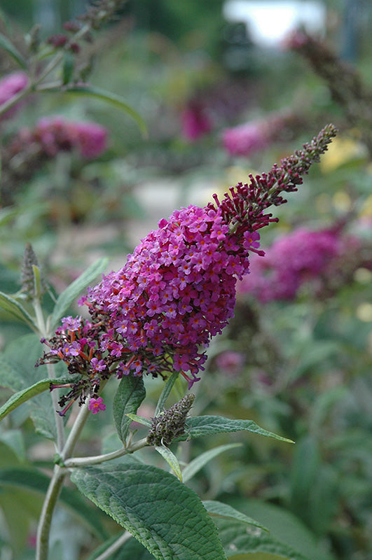Miss Ruby Butterfly Bush (Buddleia davidii 'Miss Ruby')