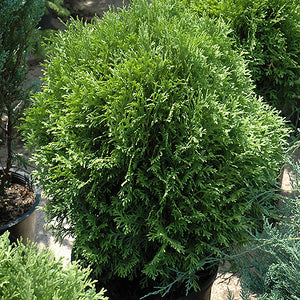 Tom Thumb Arborvitae (Thuja occidentalis 'Tom Thumb')